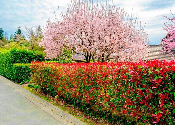 Живая изгородь: устройство, виды, выбор растений, правила ухода