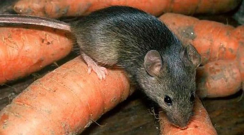 Как избавиться от мышей в доме или квартире